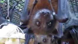 Fruit Bats Go Nuts Over Banana Treat