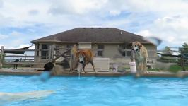 Buddy the Golden Retriever Learns how to Dive