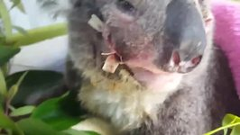 Little Koala Stitched up After Being Hit by Car