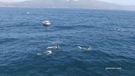 Killer Whales Charge Blue Whale Near Monterey, California