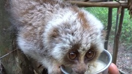 Slow Loris Refuses to Part With Food Bowl