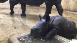 Saint Louis Zoo's Baby Rhino Takes First Bath