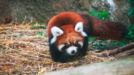 Cute Red Panda Cubs Go Exploring