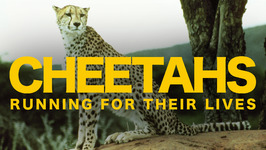 Cheetahs: Running for their Lives