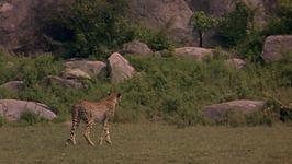 S01 E01 - Cheetah - Animals in Danger