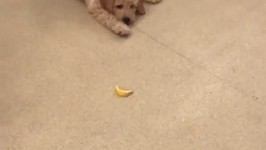 Energetic Puppy Tries to Fight a Lemon