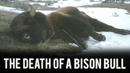 Death of a Bison Bull