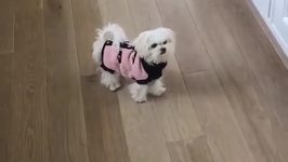 Maltese Puppy Is Very Curious About Her Pink Jacket
