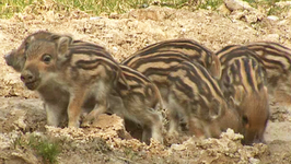 S01 E05 - Wild Boar: Born to Be Wild - Planet Wild
