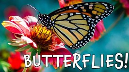 Butterflies - Fun Butterfly Facts for Kids