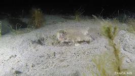 Divers Catch Rare Sighting of Short-Nosed Batfish