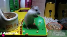Hamster Standing On 2 Feet