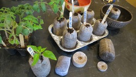 How To Use Peat Pellets For Tomato Transplants- And Peppers Too!