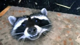 Cute Raccoon Freed From Drain Using Angle Grinder