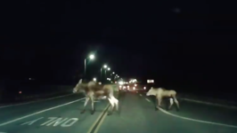 Driver Encounters Moose Family On Highway in Anchorage, Alaska