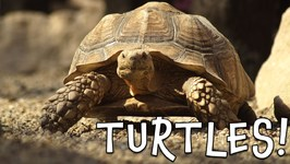 Turtles - Turtle Facts for Kids