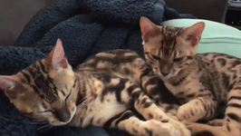 Sleepy Bengal Kittens Enjoy nap Time Together