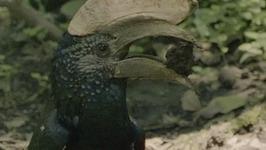 S01 E05 - Wrinkled Hornbill - Animals in Danger