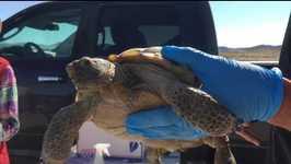 US Marine Corps Relocate More Than 1,000 Desert Tortoises