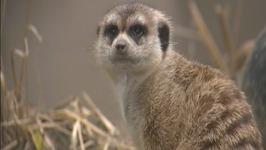 Baby Meerkats Song - Learn Animals Songs