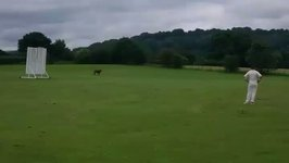 Udderly' Mad Moment Cow Charges Through Village Cricket Game in Cheshire