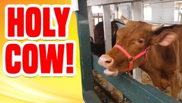 Holy Cow - Funny Animals Compilation