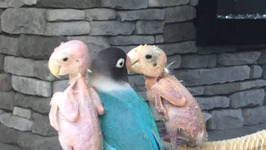 Bald Birds Find Love In Polyamorous Relationship