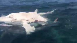 Sharks Devour Whale Carcass Off Garden Island, Western Australia