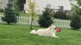 Relaxed Dog Does Not Want to Move for Frisbee