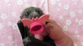 Baby Flying-Fox With An Important Message