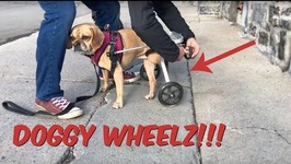 Paralyzed Puggle Gets a New Wheelchair for Park Adventure