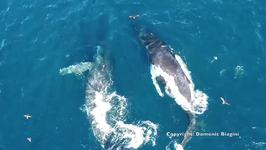 Drone Footage Shows Whales and Dolphins Swimming Off San Diego