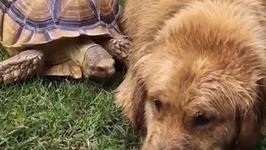 Golden Retriever and Rescued Tortoise Make the Most Unlikely Best Friends