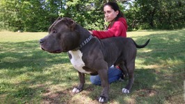 Hulks Son Kobe Is The Pit Bull Of The Future