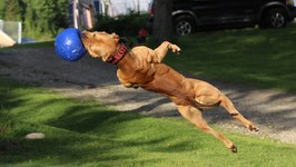 Super Pit Bull - Training The Ultimate Protection Dog