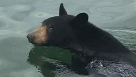 Bear Surprises Visitors By Taking a Dip at South Holston Lake