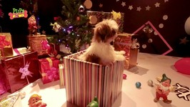Puppies And Christmas - Funny Puppy Video