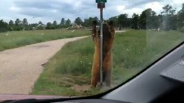 Caught On Camera - Grizzly Bear Pole Dances