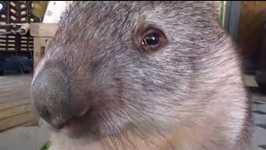 Wombat Cleopatra Enjoys a Bag of Grass