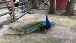 Impressive Peacock Displays Its Glorious Feathers