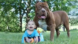 Giant Pit Bull Hulk And The Newborn Baby