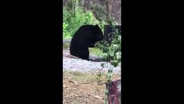 Momma Bear and Cubs Rummage Outside Family's Cabin in Gatlinburg, Tennessee