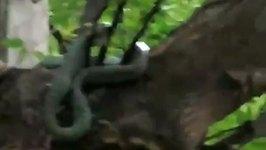Predatory Lizards Force Snake Off Their Tree Branch