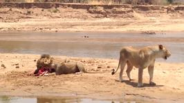 Young Lion Tries His Luck at Claiming the Kill