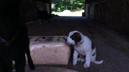 Saint Bernard Puppy Makes Friends With Goat Kids