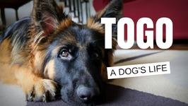German Shepherd - A Dog's Life - Meet Togo