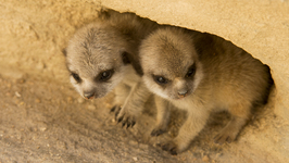 Meerkat Pups Take First Steps Outside of Burrow at Adelaide Zoo