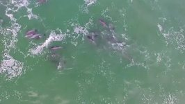 Drone Footage Captures a Pod of Dolphins in Gansbaai, South Africa