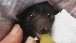Flying Fox Has the Most Irresistible Eyes