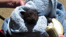 Miss Alicia the Bat Goes Bananas